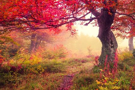 Majestatyczny krajobraz z drzew jesieni w lesie. Karpacki, Ukraina, Europa. Piękno świata. Retro przesączono. Tonowanie efekt. Zdjęcie Seryjne
