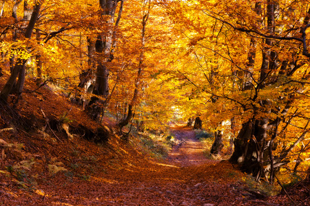 Autumn: Bosque colorido majestuoso con las vigas de sol. Parque Natural. Dramática escena mañana. Hojas de otoño rojas. Cárpatos, Ucrania, Europa. Mundo de la belleza.