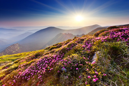 beautiful heaven: Magic pink rhododendron flowers on summer mountain