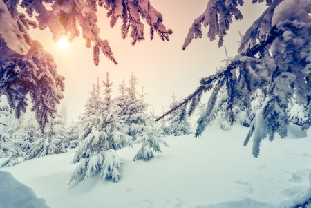wintry: Amazing evening winter landscape. National Park. Carpathian, Ukraine, Europe. Beauty world. Retro style filter.