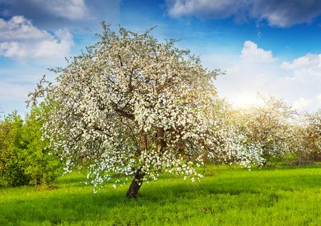 봄에 피는 사과 나무