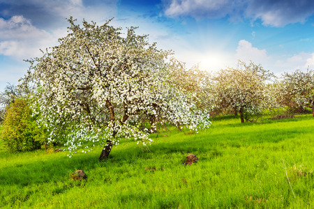 Blooming apple trees at spring