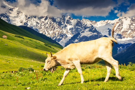 shkhara: Cows grazing on a alpine meadow at the foot of  Mt. Shkhara in Upper Svaneti, Georgia Stock Photo