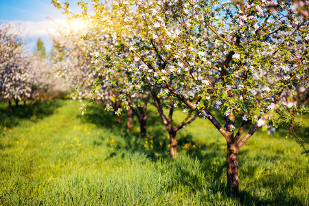 봄에 사과 과수원 꽃이 만발한