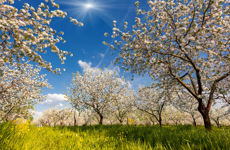 Blossoming apple orchard in spring Stock fotó