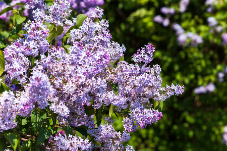 Close-up beautiful lilac flowers with the leaves photo