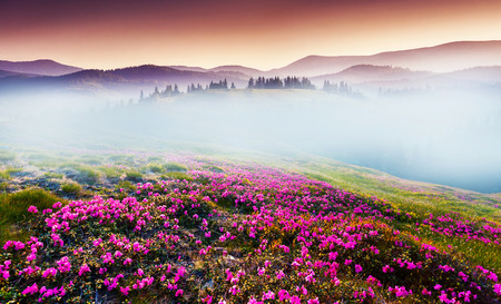 Magic pink rhododendron flowers on summer mountain. Dramatic overcast sky Zdjęcie Seryjne