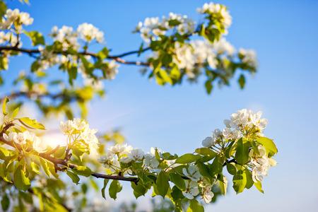 APPLE trees: Blooming apple trees at spring. Ukraine, Europe. Beauty world.