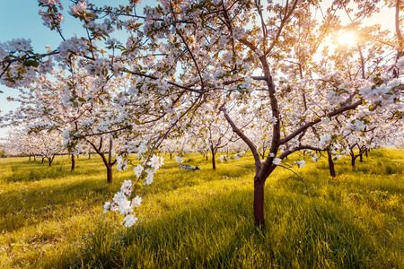 Blossoming apple orchard in spring Stock Photo
