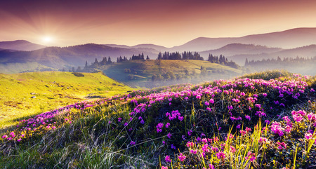 fairytale background: Magic pink rhododendron flowers on summer mountain