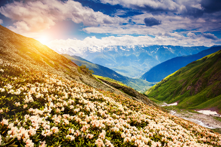 himalayas: Great view of the alpine meadows with rhododendron flowers at the foot of Mt. Ushba in Upper Svaneti, Georgia