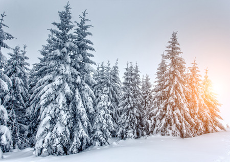 snow forest: Majestic winter landscape glowing by sunlight. Dramatic wintry scene in Carpathian, Ukraine