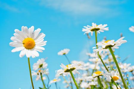 Lato z pola białe stokrotki na błękitnym niebie