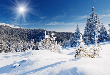abetos: Árboles de invierno en las montañas cubiertas de nieve fresca