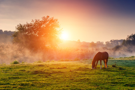 to field: Arabian horses grazing on pasture at sundown in orange sunny beams. Dramatic foggy scene. Carpathians, Ukraine, Europe. Beauty world.
