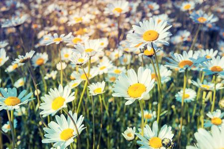 marguerite: Summer field avec des marguerites blanches. Sc�ne du matin dramatique. Ukraine, l'Europe. Monde de la beaut�. Filtre de style r�tro. Instagram effet tonifiant.