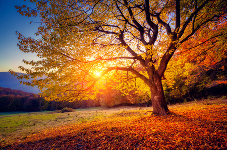 Majestic alone beech tree on a hill slope with sunny beams at mountain valley. Dramatic colorful morning scene. Red and yellow autumn leaves. Carpathians, Ukraine, Europe. Beauty world. Stock fotó - 47565835
