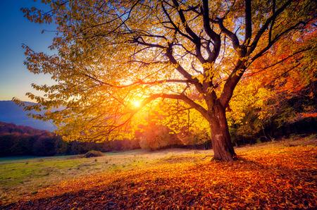 Majestuoso árbol de haya solo en una cuesta de la colina con vigas de sol en el valle de montaña. Escena de la mañana colorido dramático. Hojas rojas y amarillas de otoño. Cárpatos, Ucrania, Europa. Mundo de la belleza.