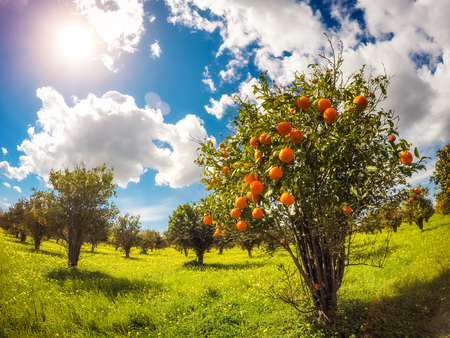 tangerine tree: Fantastic views of the garden with blue sky. Mediterranean climate. Sicily island, Italy, Europe. Beauty world.