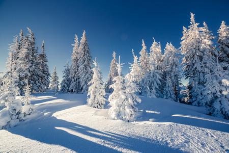 abetos: Majestuoso paisaje de invierno brillando por la luz solar. dramática escena invernal. Cárpatos, Ucrania, Europa. mundo de la belleza. ¡Feliz año nuevo!