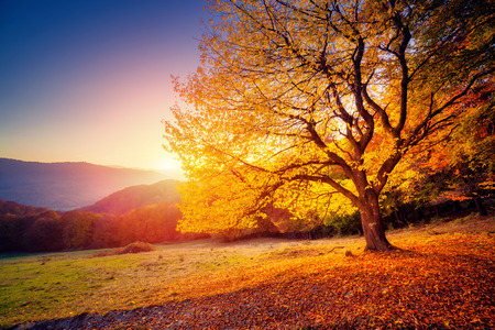 meadows: Majestic alone beech tree on a hill slope with sunny beams at mountain valley. Dramatic colorful morning scene. Red and yellow autumn leaves. Carpathians, Ukraine, Europe. Beauty world.