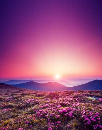 scenery: Magic pink rhododendron flowers on summer mountain. Dramatic scenery. Carpathian, Ukraine, Europe. Beauty world.