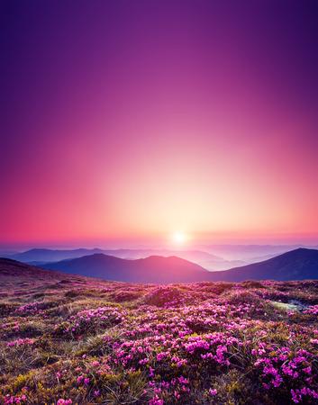 landschap: Magische roze rododendron bloemen op zomer berg. Dramatische landschap. Karpaten, Oekraïne, Europa. Schoonheid wereld.