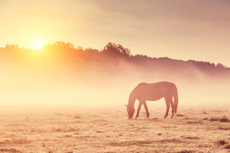 Arabian horses grazing on pasture at sundown in orange sunny beams. Dramatic foggy scene. Carpathians, Ukraine, Europe. Beauty world. Retro style filter.