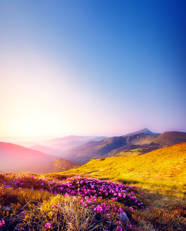 Magic pink rhododendron flowers on summer mountain. Dramatic scenery. Carpathian, Ukraine, Europe. Beauty world.