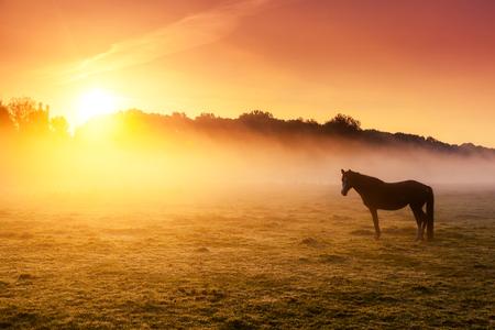 rancho: Caballos árabes que pastan en los pastos en el ocaso en rayos de sol de color naranja. Escena de niebla Dramático. Cárpatos, Ucrania, Europa. Mundo de la belleza.