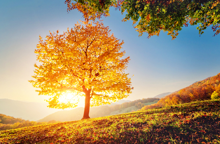 majestic mountain: Majestic alone beech tree on a hill slope with sunny beams at mountain valley. Dramatic colorful morning scene. Red and yellow autumn leaves. Carpathians, Ukraine, Europe. Beauty world.
