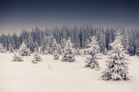 snow forest: Fantastic landscape glowing by sunlight. Dramatic wintry scene. Carpathian, Ukraine, Europe. Beauty world. Retro filter.  Stock Photo