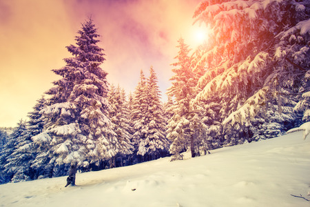christmas trees: Fantastic evening landscape in a colorful sunlight. Dramatic wintry scene. National Park Carpathian, Ukraine, Europe. Beauty world. Retro style filter.