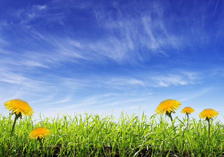 a meadow: Yellow meadow under blue sky with clouds