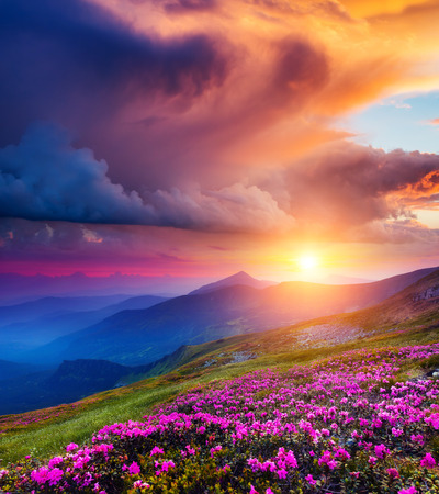 Great view of the magic pink rhododendron flowers on summer mountain. Dramatic overcast sky before the storm in Carpathian, Ukraine Standard-Bild