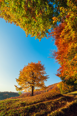 majestic mountain: Majestic alone birch tree on a hill slope with sunny beams at mountain valley in Carpathians, Ukraine Stock Photo