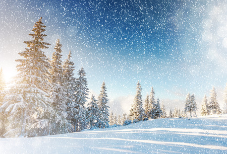 abetos: Fantástico paisaje de montaña resplandeciente por la luz solar. escena invernal dramático en los Cárpatos, Ucrania