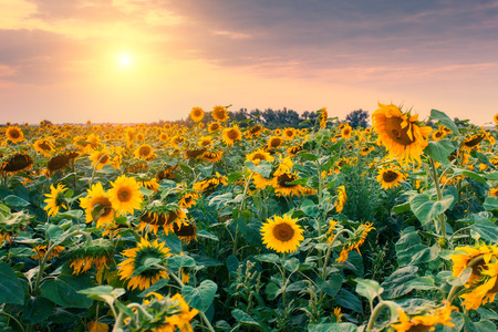Majestic view of sunflower field glowing by sunlight. Dramatic morning scene in Ukraine Foto de archivo