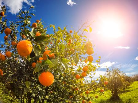 Fantastisch uitzicht op de tuin met blauwe hemel. Mediterraans klimaat. Sicilië eiland, Italië, Europa. Beauty wereld. Stockfoto - 54993997
