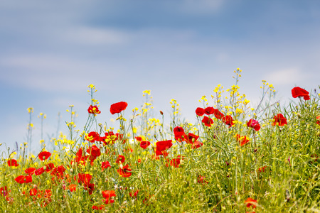 europe closeup: Fantastic closeup green grass and red poppies. Ukraine, Europe. Beauty world. Stock Photo