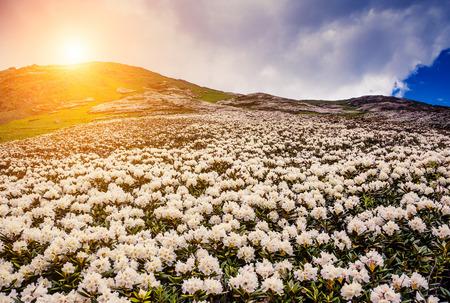 ウシュバ山のふもとにシャクナゲの花、高山草原の素晴らしい景色。劇的な珍しいシーン。青い空は曇り。上スヴァネティ (ジョージア州)