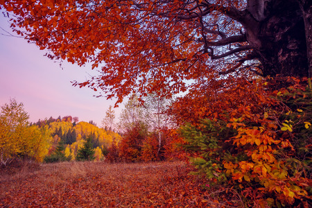 majestic mountain: Majestic birch tree on a hill slope with sunny beams at mountain valley. Dramatic colorful morning scene. Red and yellow autumn leaves. Carpathians, Ukraine Stock Photo