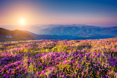 wonderful: Great view of the magic pink rhododendron flowers on the hill. Dramatic unusual scene. Carpathian, Ukraine
