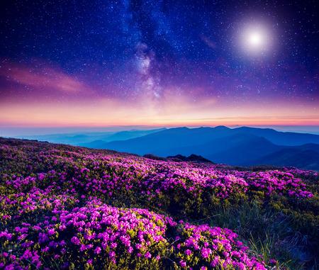 언덕에 마법의 핑크 진달래 꽃의 위대한보기. 극적으로 환상적인 장면. 카르 파티 아, 우크라이나 스톡 콘텐츠