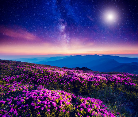 Great view of the magic pink rhododendron flowers on the hill. Dramatic and fantastic scene. Carpathian, Ukraine