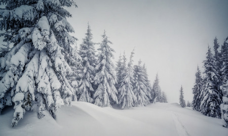 wintry weather: Majestic winter landscape in foggy weather. Dramatic wintry scene. Carpathian national park, Ukraine