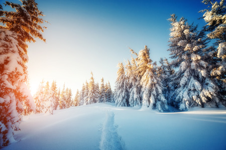 winter park: Majestic winter trees glowing by sunlight. Dramatic wintry scene. Carpathian national park, Ukraine Stock Photo