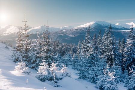 winter trees: Majestic winter trees glowing by sunlight. Dramatic wintry scene. Carpathian national park, Ukraine Stock Photo
