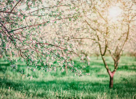 Blossoming apple orchard in spring. Picturesque and gorgeous scene. Ukraine, Europe. Beauty world. Cross processed retro and vintage style. Instagram toning effect. Glowing soft filter.