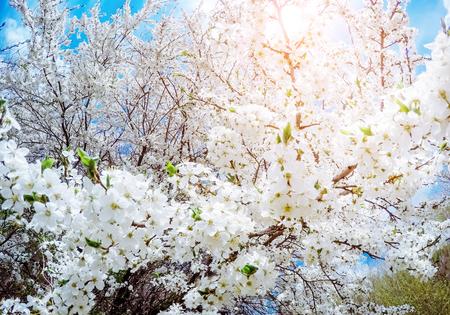 dia soleado: Fantástico manzanar es iluminado por la luz del sol. Árbol de fruta en abril. Escena pintoresca y magnífica. Lugar de ubicación Ucrania, Europa. Mundo de la belleza. Efecto de filtro suave que brilla intensamente. Foto de archivo